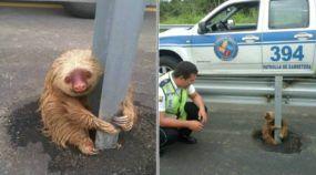Policiais salvam esse simpático (mas assustado) Bicho-Preguiça que tentou cruzar uma Rodovia! Um resgate adorável!