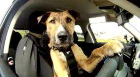 Cachorro dirigindo sozinho? Conheça o Porter, o Primeiro cão (vira-lata) Motorista do mundo