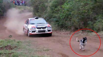 Esse é o cachorro mais sortudo de todos os tempos (Veja o milagre com o Carro de Rali)